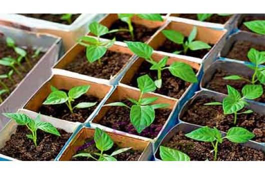 Особенности выращивания рассады