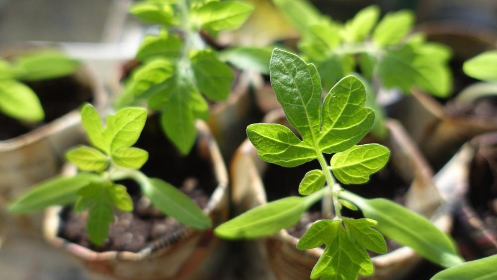 почему выращивать рассаду выгоднее